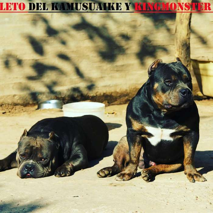 Pit Bull Terrier American Bully