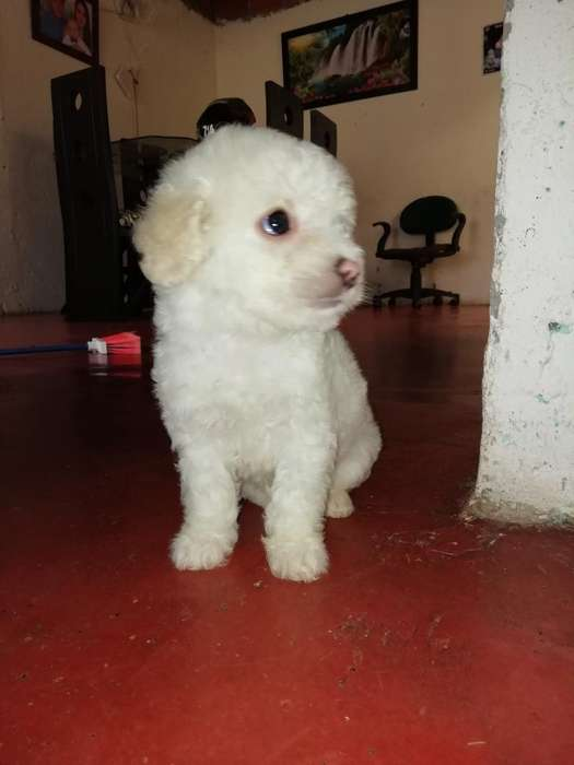 <strong>cachorro</strong>s French Poodle Mini Toy Disponi