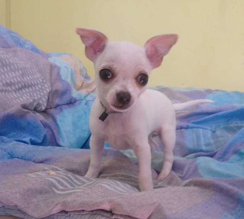 Chihuahua Mini Raza Pura
