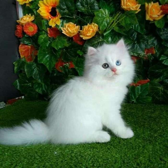 Gatos Criadero Certificado Garantias Pur
