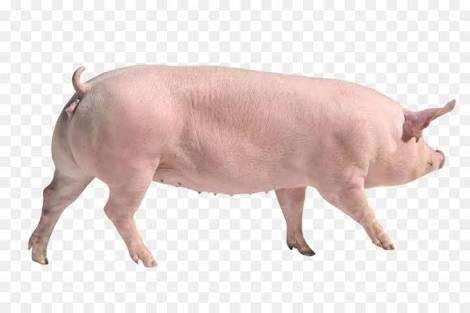 Vendo cerdo hembra