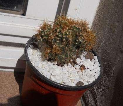 cereus peruvianus monstruoso Maceta 10