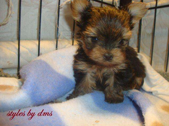 YORKSHIRE TERRIER Machitos minis pedigree disponibles
