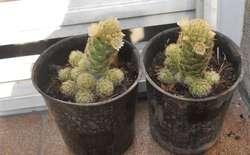 Cactus Mammilarias Elongata Amarilla En Flor Maceta 10
