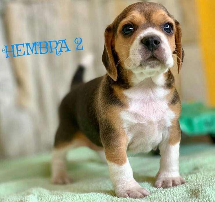 Perros <strong>beagle</strong>