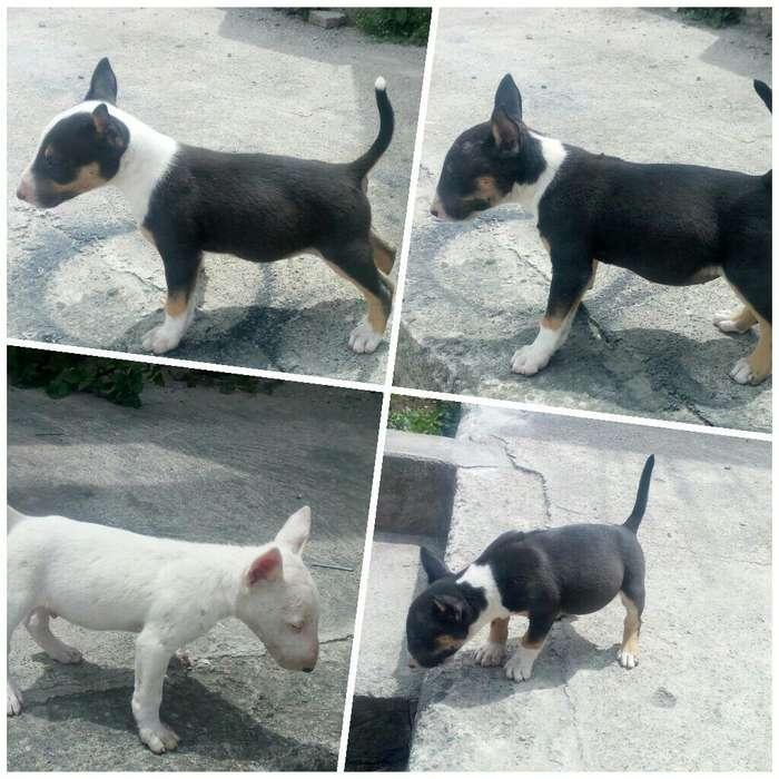 <strong>cachorro</strong>s Bull Terrier Mini