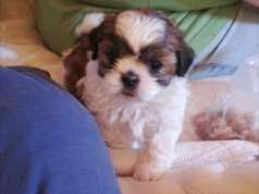 VIGOROSO SHIH TZU MACHO