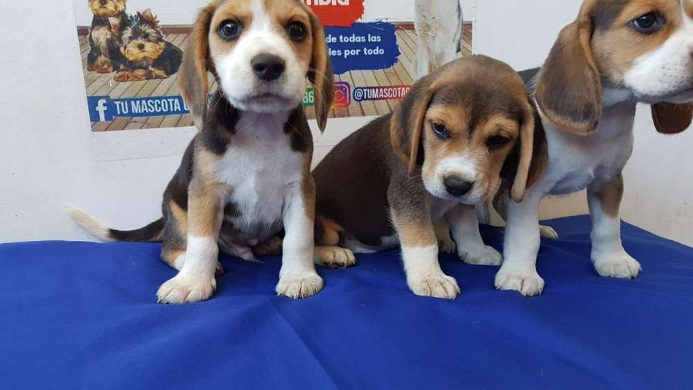 Disponibles <strong>beagle</strong>s Alta Gama