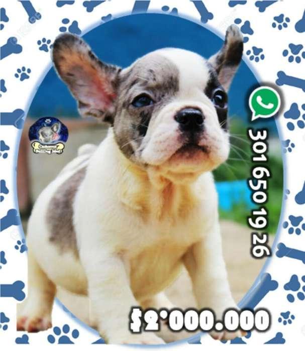 Cachorro <strong>bulldog</strong> Francés Pie de Merle
