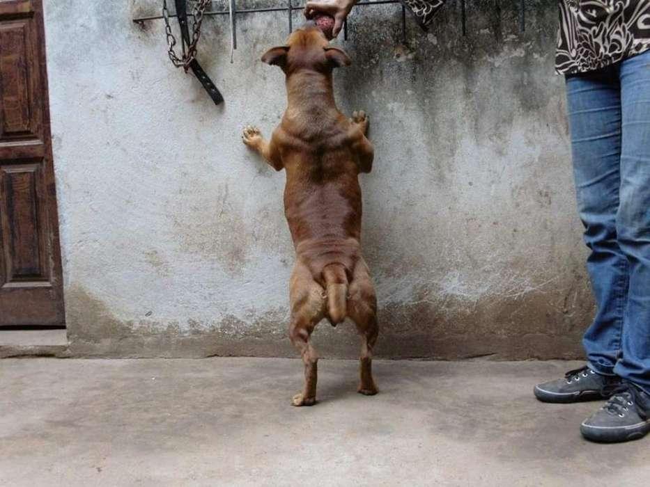 Staffordshire Bull Terrier El Perro Niñe