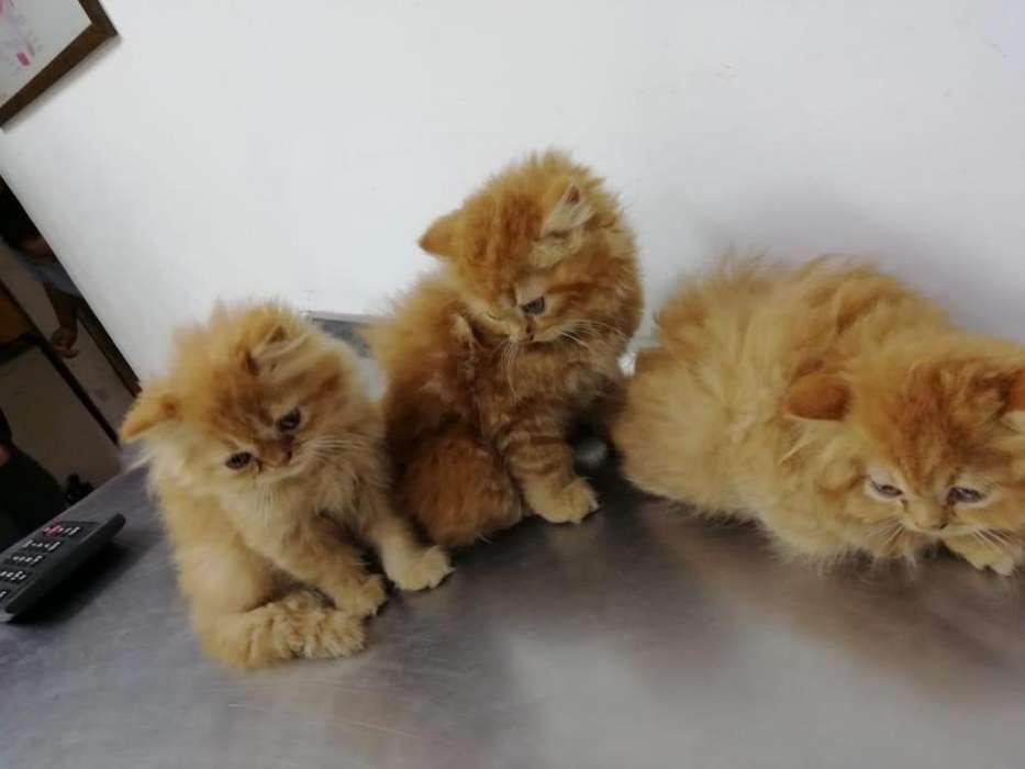 Espectaculares Gatos Persa Naranja
