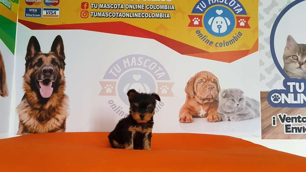 Tierno Yorkshire <strong>terrier</strong> Tacita Vendo