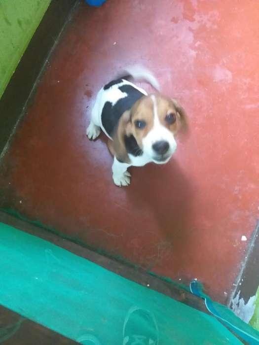 Venta Cachorra 3 Meses Beagle con Vacuna