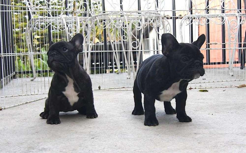 cachorro <strong>bulldog</strong> frances sangre europea , excelente pedigree