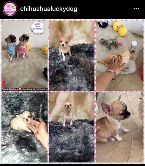 Chihuahuas de Cartera