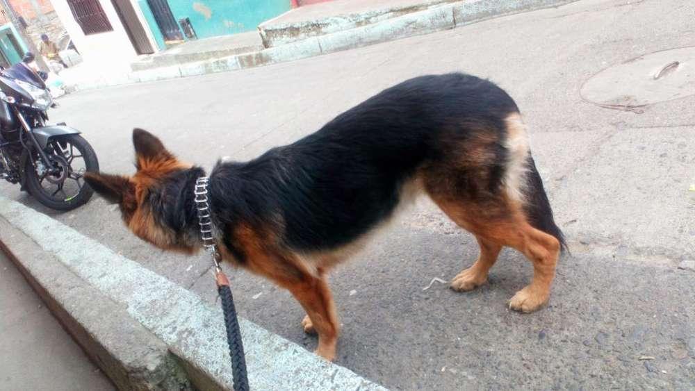 Cachorra de 11 Meses Pastor Aleman