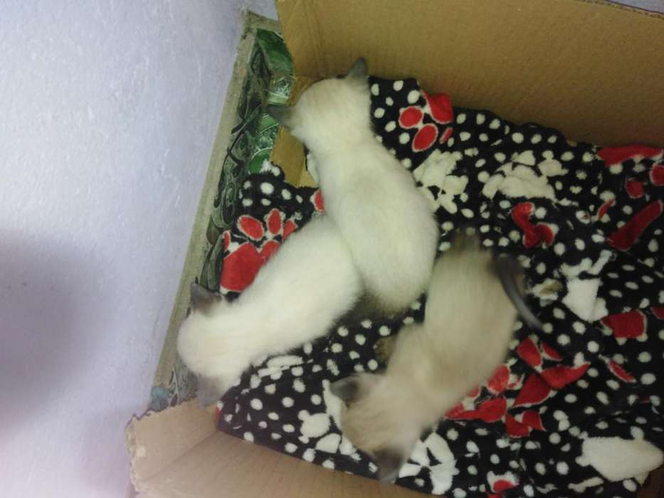 Vendo Gatos Siamés 20dias de Nacidos