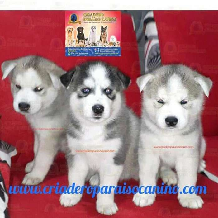 Disponibles <strong>cachorro</strong>s Husky Siberiano