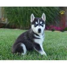 ojos azules husky siberianos