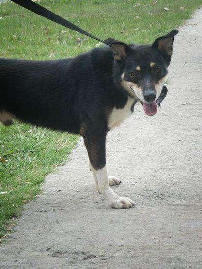 Perro macho adulto tamaño grande en adopcion Marcelo