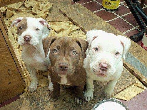 Adopto Cachorro Pitbull O Raza Grande