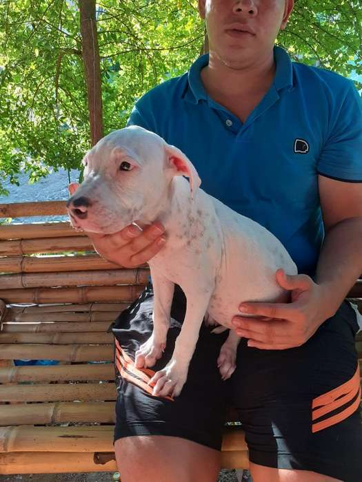Vendo <strong>perra</strong> Pitbull Blanca