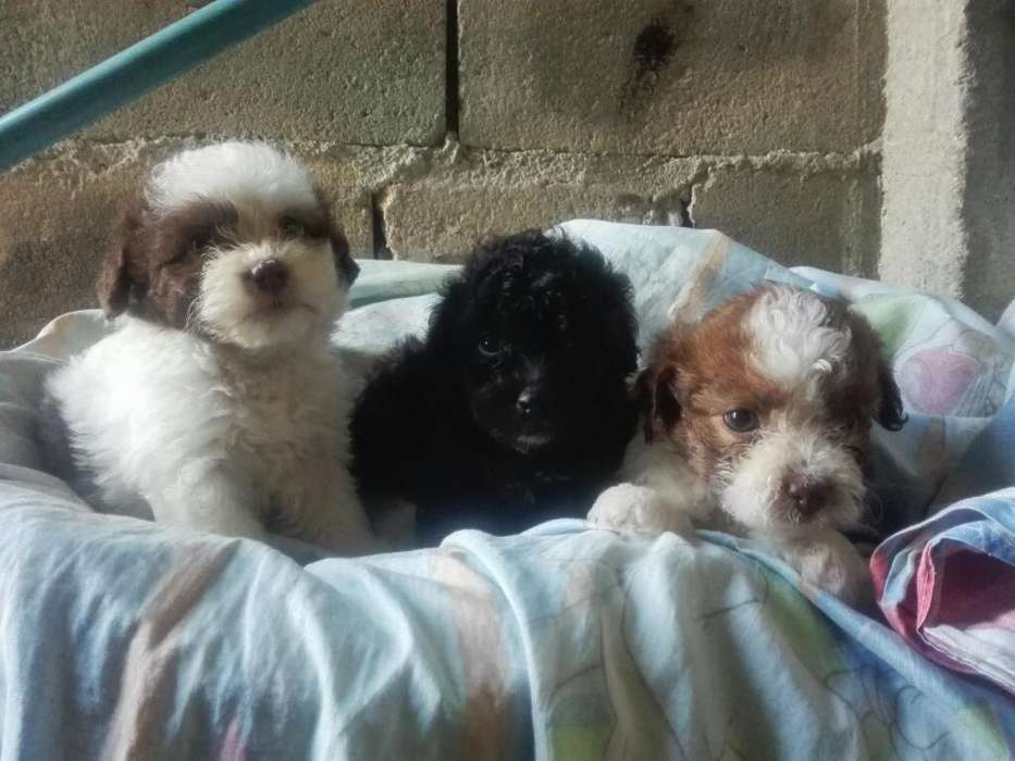 Lindos French Poodle