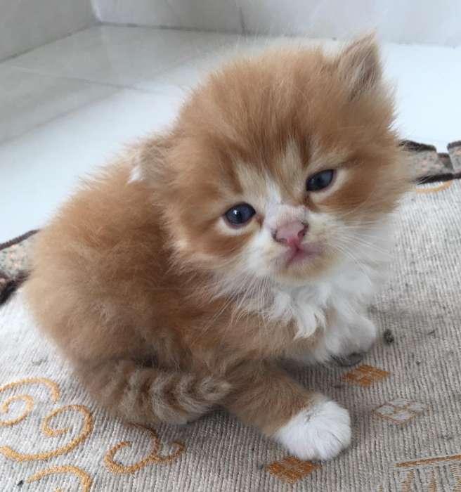 Vendo Hermosos Gaticos Persa 800.000