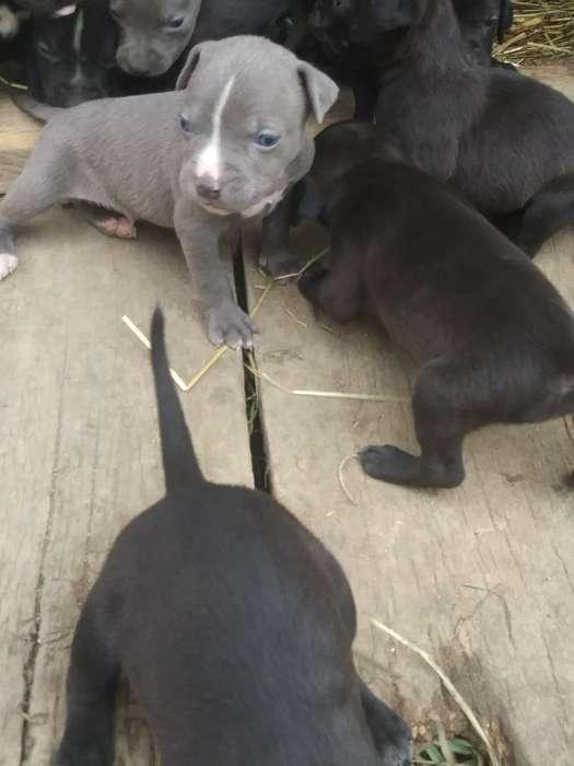 Vendo Cachoros Pitbull