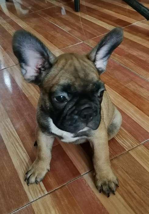 Vendo Cachorro <strong>bulldog</strong> Francés
