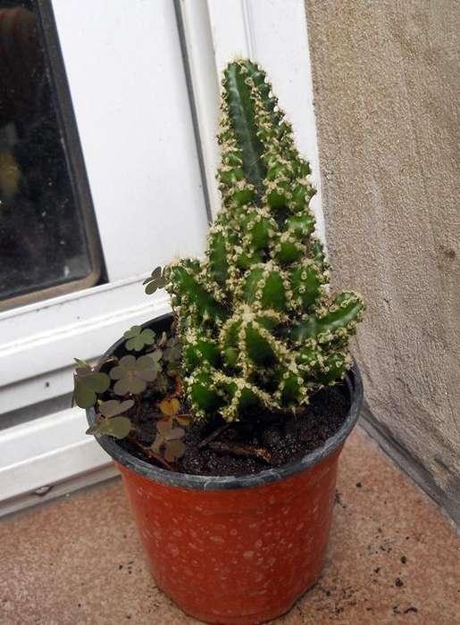 "Cactus Cereus repandus ""Florida"" en maceta 10"