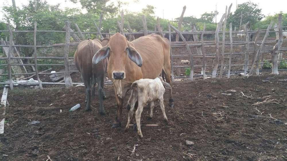 Lote de <strong>vacas</strong>