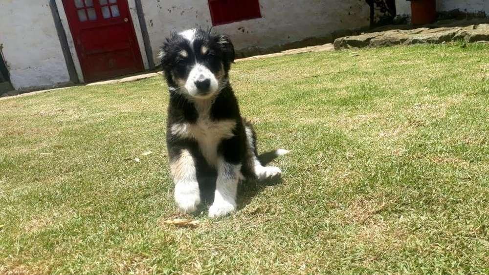 Venta de <strong>cachorro</strong>s Border Collie
