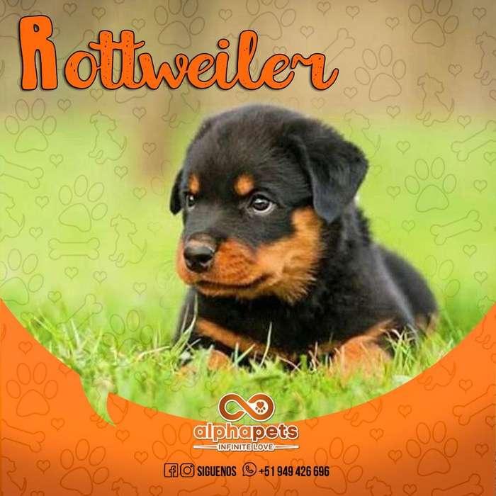 EXCLUSIVOS <strong>cachorro</strong>S ROTTWEILER ALTO STANDARD GENETICO A1 PERÚ