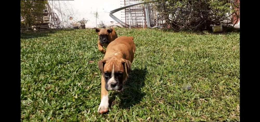 Cachorros <strong>boxer</strong> Hembras