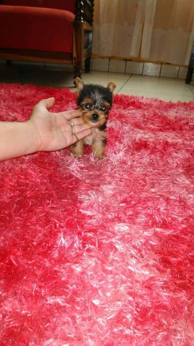 Vendo Un Cachorro Yorkshire Terrier