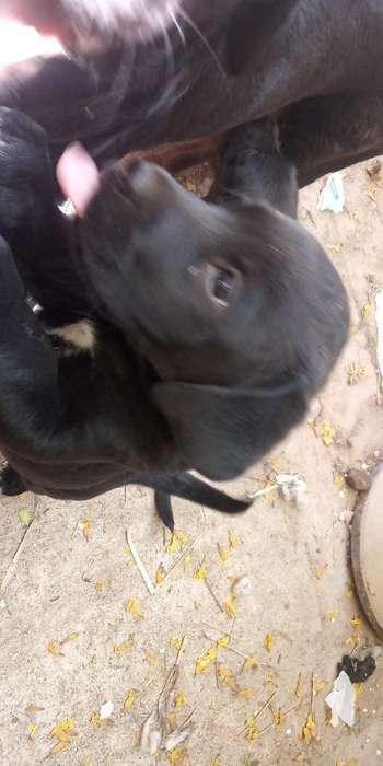 Regalo Cachorros Madre Labradora de 40 D