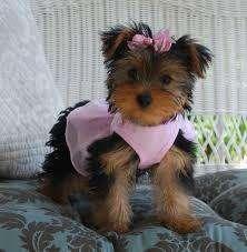 venta cachorros yorkshire terrier