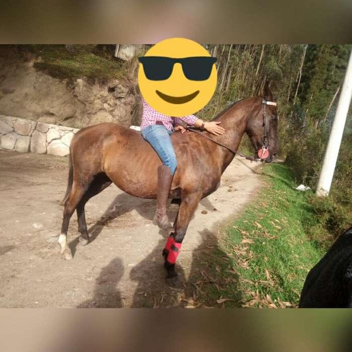 <strong>caballo</strong> Anglo Árabe