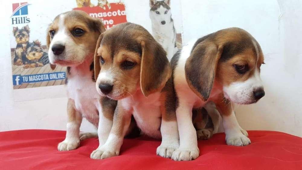 Obedientes Beagle Mini Raza Pura Origin
