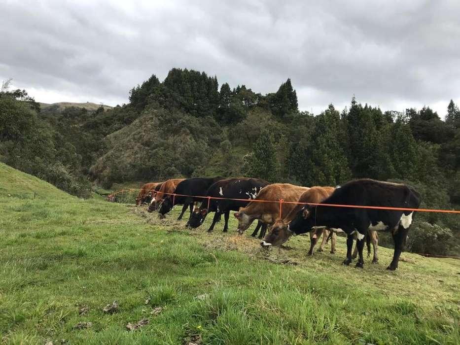 Vendo vacas preñadas Jersey