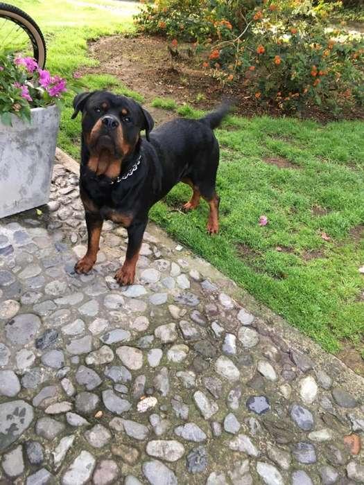 Perro para Monta Negocio Plata Ocachorro