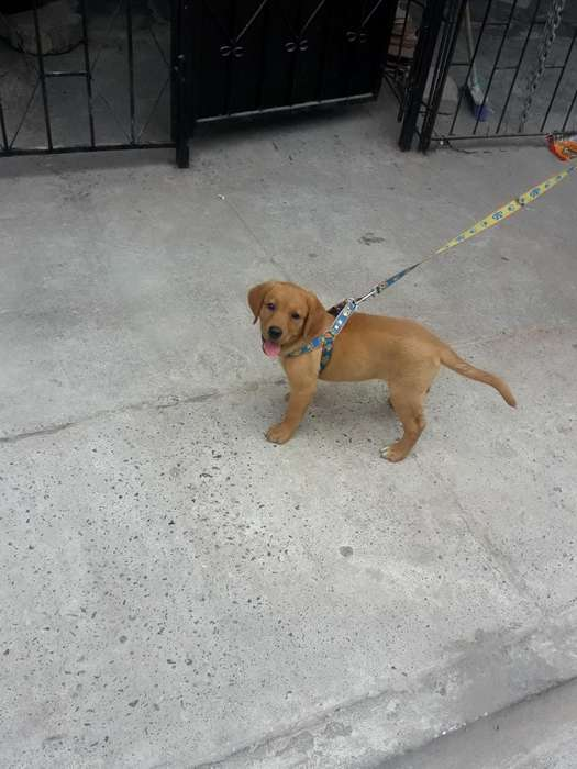Perro Golden Retriever
