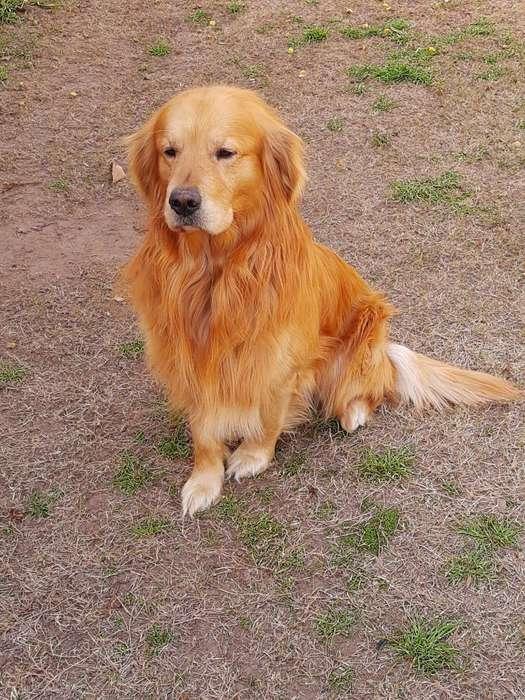 Golden Macho Hermoso 4 Años