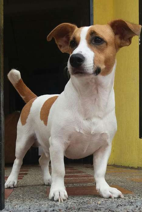 JACK RUSSELL <strong>terrier</strong> Busco novia