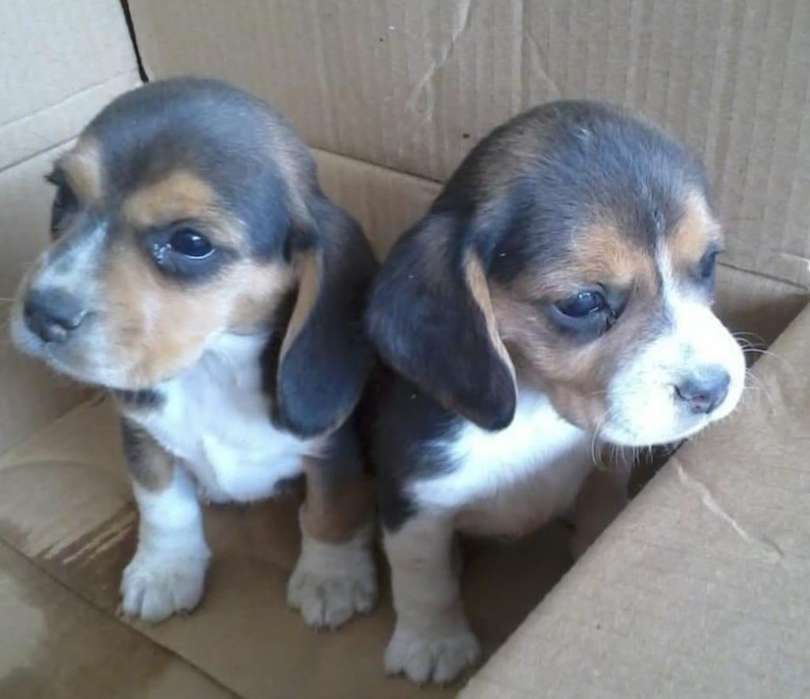 Maravillosos Beagle Tricolor