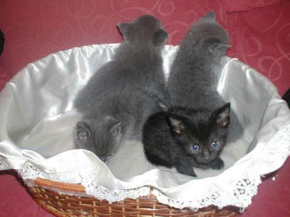 Bebe Gatos de Criadero Certificados Xdf