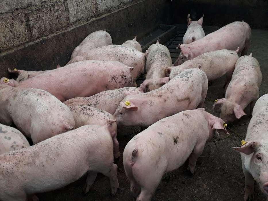 Cerdos para Criar