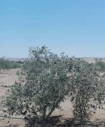 Venta de terreno con olivos en producción-Sama-Procter Tacna.