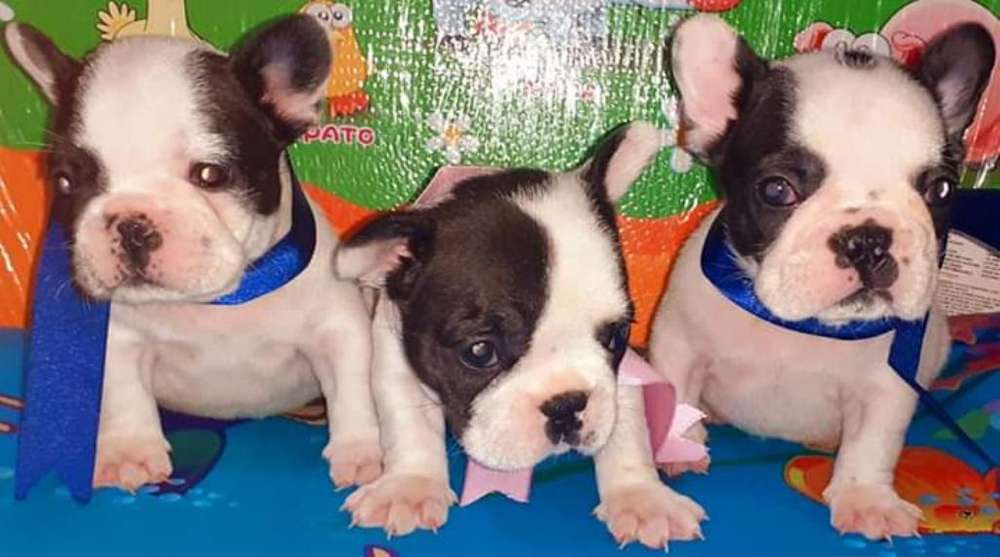 Hermosas Cachorritas <strong>bulldog</strong> Frances